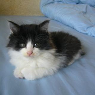 ふわもこ白黒男子の元気な子猫です☆