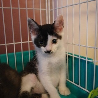 チョビ髭模様が可愛い子猫さんです♪