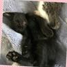 可愛い黒猫ちゃん♀2ヵ月