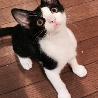 ハチワレ子猫のチーズちゃん