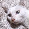 ダイクロイックアイの白猫です。