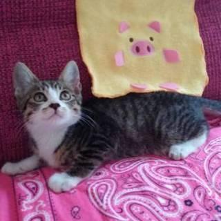 飼いやすい甘えん坊 マノン君3ヶ月子猫男の子