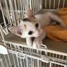 人も猫も大好き!!2ケ月三毛の女の子【グミちゃん】 サムネイル3