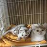 人も猫も大好き!!2ケ月三毛の女の子【グミちゃん】 サムネイル4