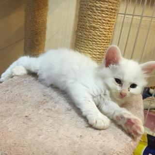 白猫オス1ヶ月 長毛