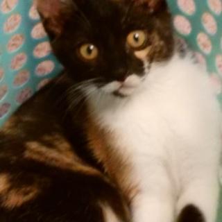 生後約2か月半の可愛い三毛猫の女の子です