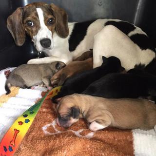 可愛い子犬8匹とビーグルMIXの母犬、美人さん