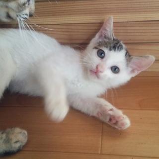 白ぶちくんと三毛ちゃん(仔猫2ヶ月)