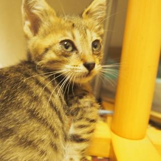 【緊急募集】子猫♂ 2ヶ月 里親募集