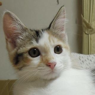 生後3ヶ月 元気でかわいい三毛猫のハチャです!