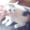 白ぶちくんと三毛ちゃん(仔猫2ヶ月) サムネイル6
