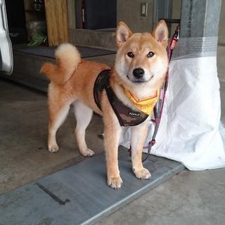柴犬1歳前後❤甘えん坊な男の子❤室内飼育