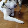 紀州犬  3歳前後 サムネイル3