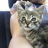 かわいいキジ猫