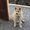 1歳の秋田犬です