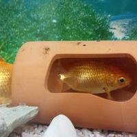きっち~金魚