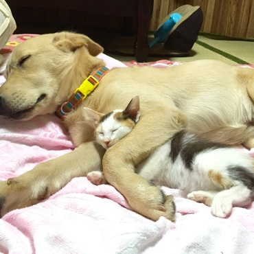 カイ(5ヶ月半)とイリマ(約2ヶ月)  イリマが潜り込んで仲良くお昼寝…とってもかわいかった。でも大きな手が首に乗って、イリマは少し苦しそう?(;゚∇゚)
