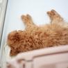 トイプードルの子犬(生後4カ月)です