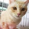 きなこ色のきれいな毛色の女の子 丸顔の美人猫です サムネイル2