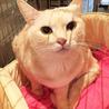 きなこ色のきれいな毛色の女の子 丸顔の美人猫です サムネイル4