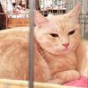 きなこ色のきれいな毛色の女の子 丸顔の美人猫です サムネイル5