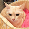 きなこ色のきれいな毛色の女の子 丸顔の美人猫です サムネイル6