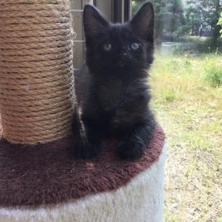 ビニール袋に入れられ遺棄されてた黒長毛子猫♀