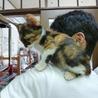 肩乗り三毛猫♪うみ♪2.5ヶ月 サムネイル5