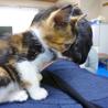 肩乗り三毛猫♪うみ♪2.5ヶ月 サムネイル6