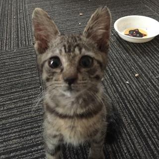 キジトラ子猫です