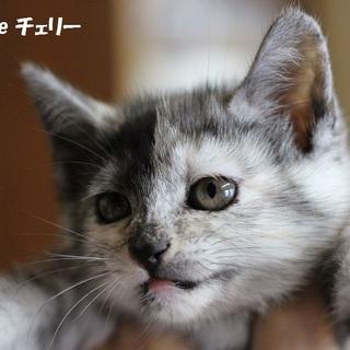 サビ柄子猫のチェリーちゃん 里親募集中!