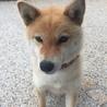 柴犬1歳9か月メス