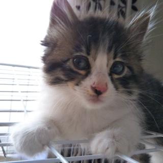 【生後2か月未満】人懐っこい子猫です。