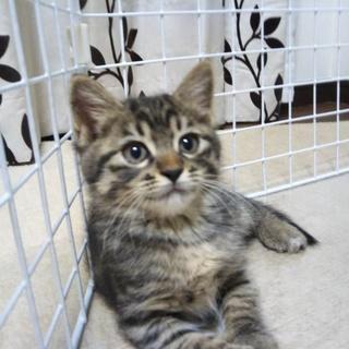 【生後2か月未満】元気ハツラツな子猫です。