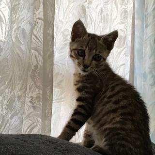 ベンガルmix男の子 2ヶ月半