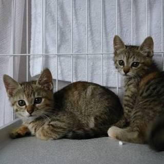 子猫2ヵ月  募集