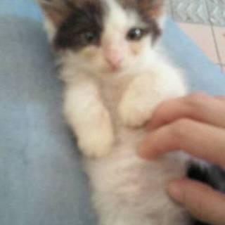生後2ヶ月の子猫 女の子 三毛