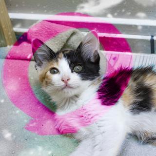 生後2ヶ月♡きれいな三毛猫ケミン2匹以上限定