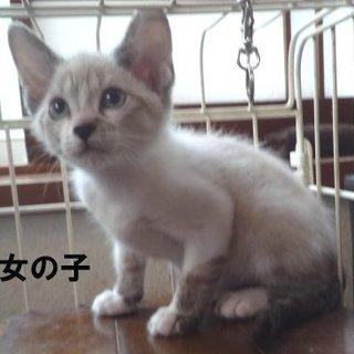 シャム系美猫な3子猫