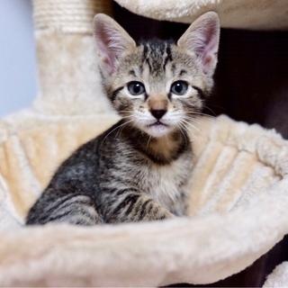 スリムで美形!キジトラ・黒の兄妹子猫