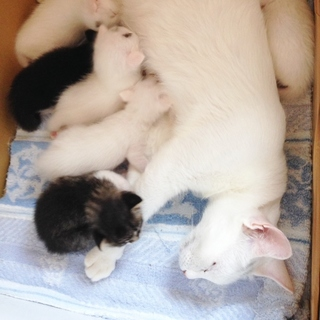 美形の白猫と子猫たち