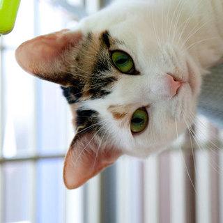 美形純和風三毛猫