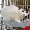 美形純和風三毛猫 サムネイル7