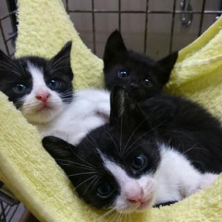 ハチワレ白黒 黒猫 3匹