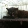美猫ちゃん黒猫の長毛 フワフワ女の子