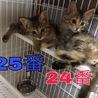 愛媛県松山市保健所から保護した仔猫/25番 サムネイル2