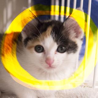 生後2ヶ月♡きれいな三毛猫ケーシー2匹以上限定