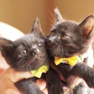 生後2ヶ月の可愛い黒猫の男の子