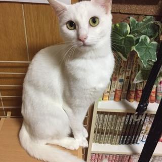純白の美形猫、凛ちゃん♡