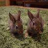 ネザーランドドワーフ仔ウサギ2匹(6月10日生)